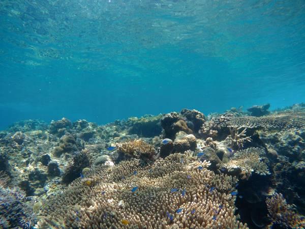 Cá xanh cá vàng bơi tung tăng quanh san hô.