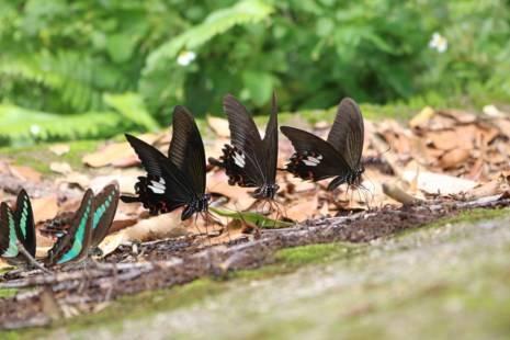 Từ sáng sớm, những con bướm thuộc nhiều loài, đủ màu sắc đã rủ nhau về đậu trên các mỏm đá ven đường.