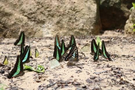 Những con bướm xinh đẹp với màu sắc rực rỡ trên cánh thu hút sự tò mò của du khách từ phương xa tới đây.