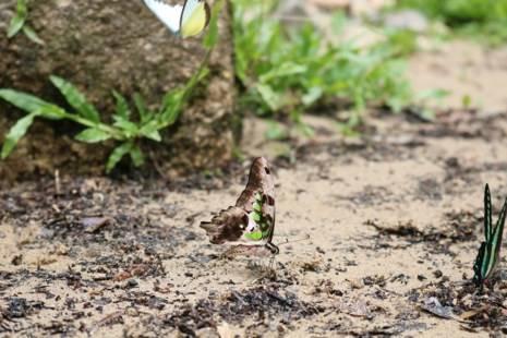 Một chú bướm với đôi cánh đẹp điểm những đốm màu xanh lục và những chiếc chân nhỏ màu hồng.