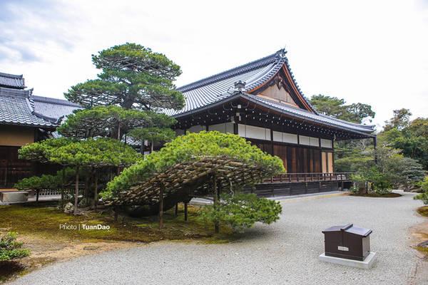 Một cây tùng cổ được định giá cả triệu đô trong chùa Vàng.