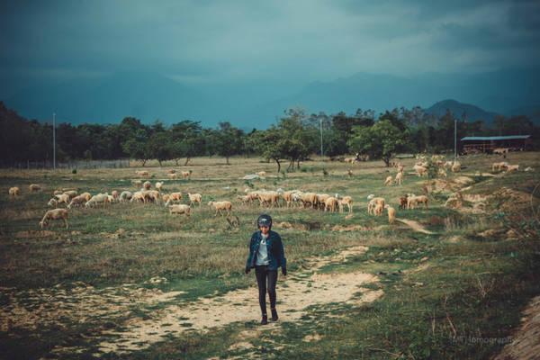 Tôi vô tình bắt gặp một trang trại cừu trắng của Ninh Thuận. Trang trại có hàng nghìn con nằm ở địa phận giáp Lâm Đồng.