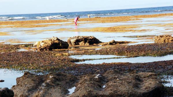 Một màu vàng tuyệt đẹp của rong rêu trên nền biển Hang Câu - Ảnh: Trần Mai