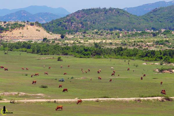 """Một thảo nguyên bò và cừu tại Bình Tiên, những đặc sản nổi tiếng khác của vùng đất """"Gió như Phan, nắng như Rang"""". Thôn Bình Tiên cũng là ranh giới hai tỉnh Ninh Thuận và Khánh Hòa, là một điểm đến hoang sơ mới được rất nhiều bạn trẻ tìm đến gần đây"""