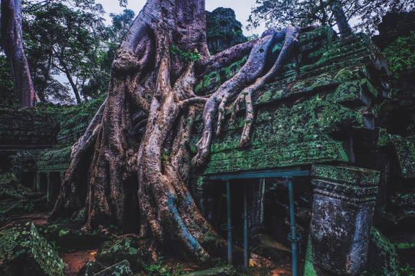 Sau khi những bức tường gạch cổ bị sập, một số rễ cây được nâng bởi trụ đỡ