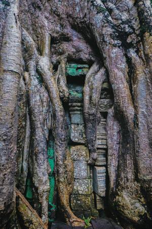 Đây là một cây có chùm rễ khác biệt nhất với các chùm rễ khổng lồ khác tại đền Ta Prohm