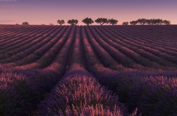 Những cánh đồng oải hương bắt đầu khoe sắc từ giữa tháng 6 tới mùa thu hoạch vào cuối tháng 7 hoặc giữa tháng 8. Mùa vụ có thể thay đổi theo từng năm, tùy thuộc vào thời tiết.