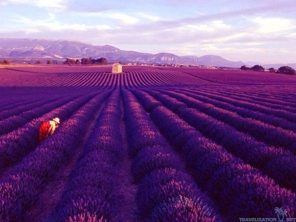 Có khoảng 2.000 nông dân trồng oải hương trên khắp Provence, từ Vercos đến Verdon, qua Baronnies và Luberon. Nông dân trồng oải hương tại Provence giống như những người nghệ sĩ, họ biết cách chiều lòng du khách mà vẫn đảm bảo mùa vụ theo kế hoạch.