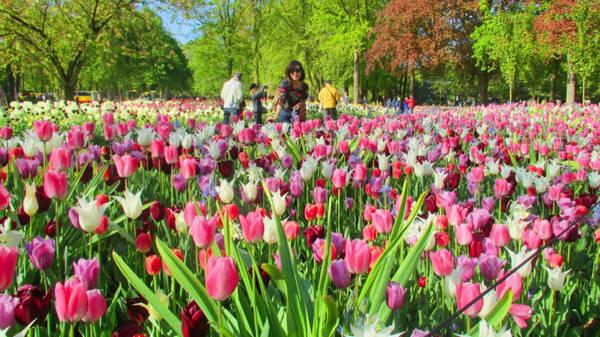 5. Ngây ngất trước vườn hoa lớn nhất thế giới Keukenhof: Cách thủ đô Amsterdam 30 km về hướng tây nam, KeuKenhof trải dài trên khuôn đất rộng 30 ha là nơi hàng nghìn loài hoa trong đó có loài tulip - biểu tượng của đất nước Hà Lan xinh đẹp ngự trị.