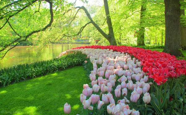 Tulip có gốc Thổ Nhĩ Kỳ nhưng lại nổi tiếng và rực rỡ nhất ở đất nước Hà Lan với vườn hoa Keukennhof. Hàng năm, Keukenhof chỉ mở cửa 2 tháng với hơn 7 triệu bông hoa tulip được trồng chỉ để phục vụ khách du lịch.