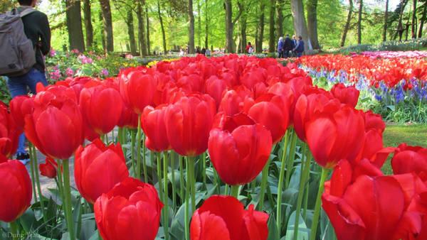 """Với vẻ đẹp rực rỡ, Vườn Keukenhof xứng đáng với giải """"Điểm đến hấp dẫn nhất châu Âu"""" đã được Hiệp hội du lịch thế giới trao tặng."""