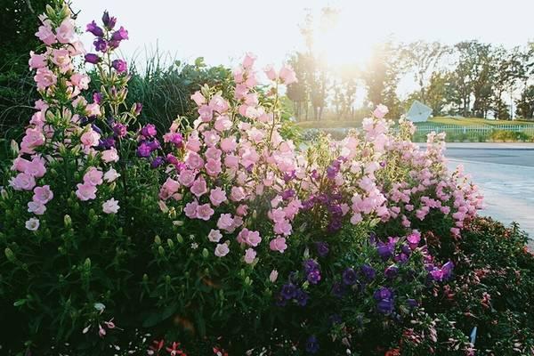 Một khóm hoa chuông với các màu hồng phớt, tím.