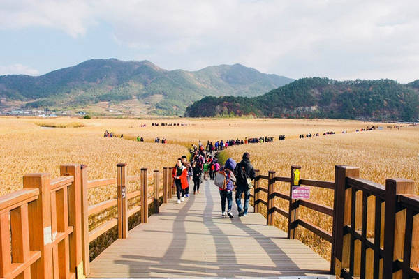 Thời điểm lý tưởng nhất để ngắm vẻ đẹp thiên nhiên của khu sinh thái Suncheon là mùa thu. Từ tháng 10, cả cánh đồng lau sẽ ngả dần sang màu vàng óng, tạo nên khung cảnh lãng mạn.