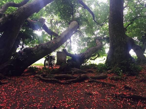 Theo Hội bảo vệ thiên nhiên và môi trường Việt Nam, quần thể lộc vừng này có hơn 80 cây, nằm trên một quả gò chỉ rộng chừng 500 m2, trên đầm Láng Chương, hay còn gọi là gò Vình. Ảnh: Lê Hạnh.