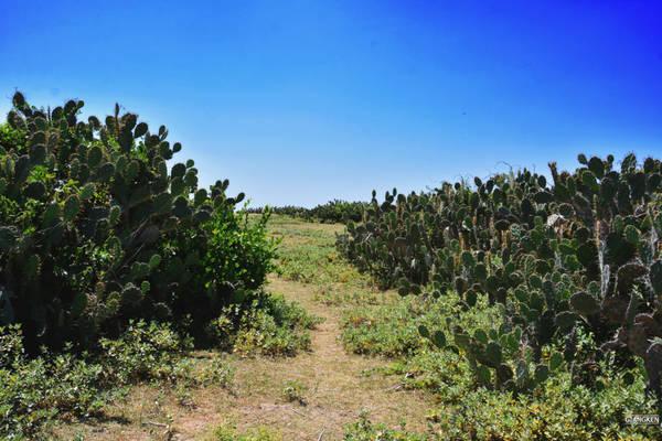 Để đến được Gành Ông, bạn phải đi bộ dọc bãi biển Bãi Xép. Từ bãi cát trắng, vài bước chân chúng tôi đã lên con đường mòn giữa thảm cỏ xanh rộng thênh thang, hai bên là những bụi xương rồng hoang dại.