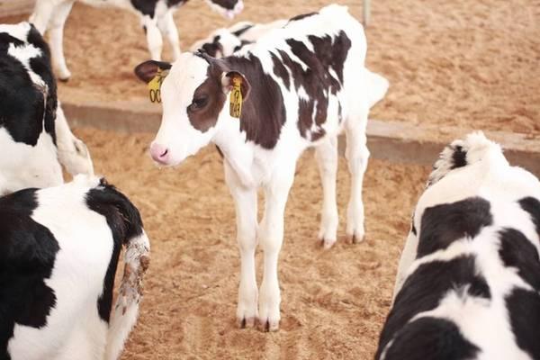 Gần đây, xu hướng tham quan các trang trại, nông trại được nhiều người yêu thích, bởi các trải nghiệm mới, gần gũi thiên nhiên. Trước đó, một trang trại sữa ở Nghệ An cũng cho phép du khách vào chụp ảnh tại cánh đồng hoa hướng dương, cây trồng để nuôi bò, không thu phí tham quan. Ảnh: Ha Ngan Nguyen.