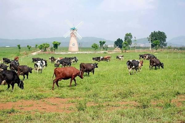Khu đồng cỏ là nơi du khách háo hức tham quan nhất. Với diện tích hơn 70 ha, đồng cỏ xanh mướt và hàng trăm chú bò nhởn nhơ gặm cỏ bên cạnh chiếc cối xay gió khổng lồ giống như vùng thảo nguyên ở châu Âu. Ảnh: Ha Ngan Nguyen.
