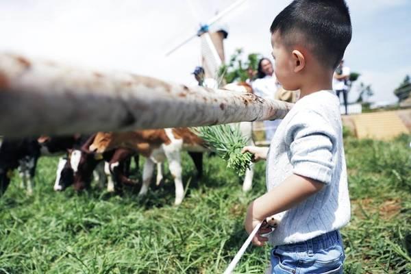 Nhiều gia đình có con nhỏ cũng chọn nơi đây là điểm đến cho các bé khám phá. Ngoài chụp ảnh, các bé còn được tự tay cho những con bò sữa ăn cỏ được trồng tự nhiên tại trang trại. Ảnh: Hannah Nguyen.