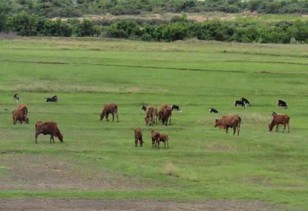 Đàn bò thảnh thơi gặm cỏ