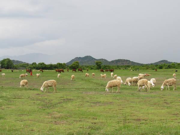 Trên đồng cừu ở xã An Hòa