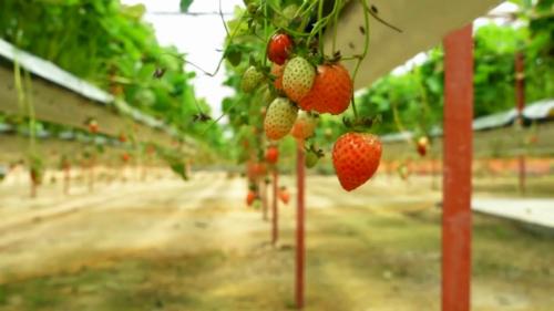 Khu vườn trồng giống dâu tây New Zealand cho quả to ngon, giòn và thơm, năng suất tốt.