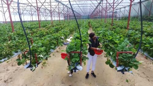 Ông cho biết giá dâu sạch trồng thủy canh thường đắt hơn dâu thường khoảng 100.000 đồng mỗi kg. Giá bán cho khách du lịch khoảng 100-250 nghìn đồng mỗi kg tùy loại.