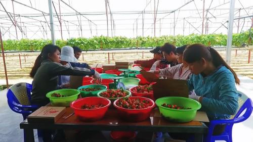 Dâu tây hái tại vườn được phân loại và xếp vào thùng, lót giấy ăn từng quả để tránh dập nát trong quá trình vận chuyển.