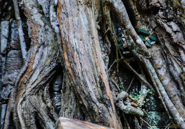 Một bức tượng ẩn dưới lớp rễ cây cổ thụ. Có một điều kỳ lạ là cho dù có che phủ hết các bức tường thành, nóc đền đài, nhưng các bộ rễ đều tránh các bức tượng ra, không che lấp mặt ngài.