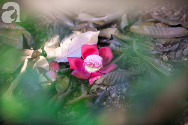 Vẻ đẹp của hoa sala cũng trầm tư và yên bình như Huế.