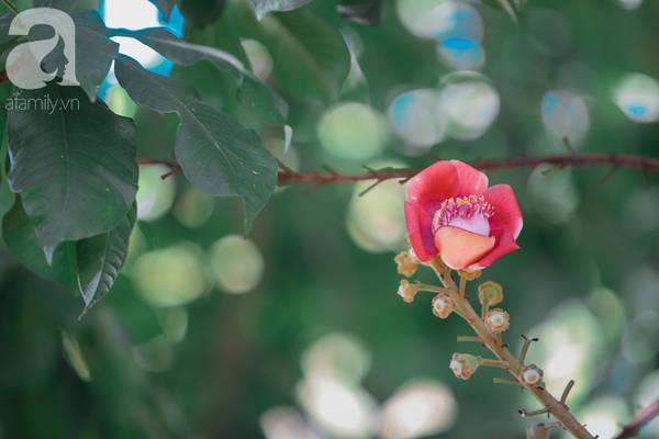 Hoa sala có hình dáng rất giống hoa sen.