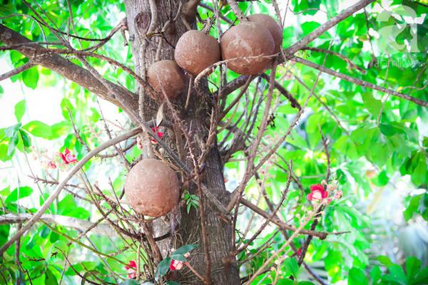 Quả của cây sala rất to, có thể nặng tới 4kg nhưng không ăn được.