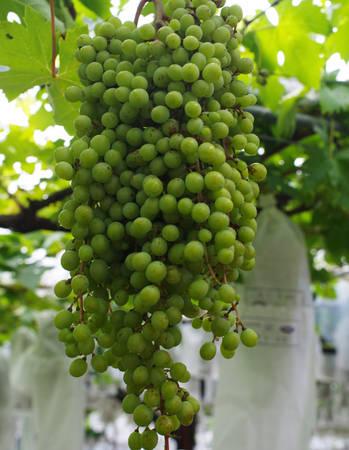 Vùng Tanushimaru thuộc thành phố Kurume, phía nam tỉnh Fukuoka chắc chắn là nơi dừng chân hoàn hảo cho người yêu thích trái cây. Du khách tới đây được tham quan các trang trại trồng nho, dâu tây, đào, hồng... tự tay thu hoạch như những nông dân địa phương, thưởng thức tại vườn hoặc mua về làm quà cho người thân. Điều quan trọng là nông sản của Tanushimaru dùng toàn bộ phân bón hữu cơ.