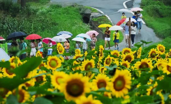 Ngôi làng nhỏ xinh với những bức tường họa, những con đường đi dạo tĩnh mịch và hai bên là những vạt hoa hướng dương, hoa dại mùa hè, hương cỏ nồng nàn như quyến rũ, níu chân du khách.