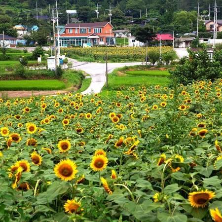Cứ đến tháng 8, người dân Hàn Quốc lại đổ xô tới tham quan, ngắm cảnh tại ngôi làng ở huyện Yangpyeong, tỉnh Gyeonggi - nơi diễn ra lễ hội hoa hướng dương nổi tiếng.