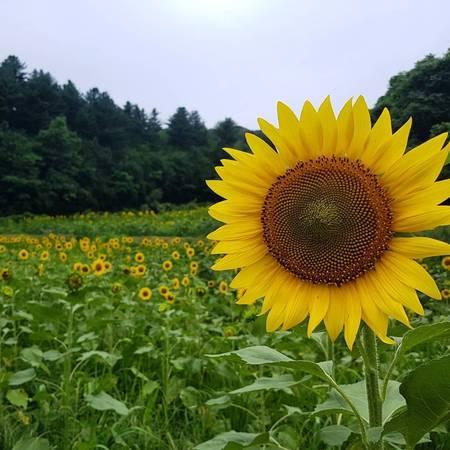 Ruộng hoa hướng dương dài tít tắp, hoà lẫn vào cảnh rừng, cảnh trời.