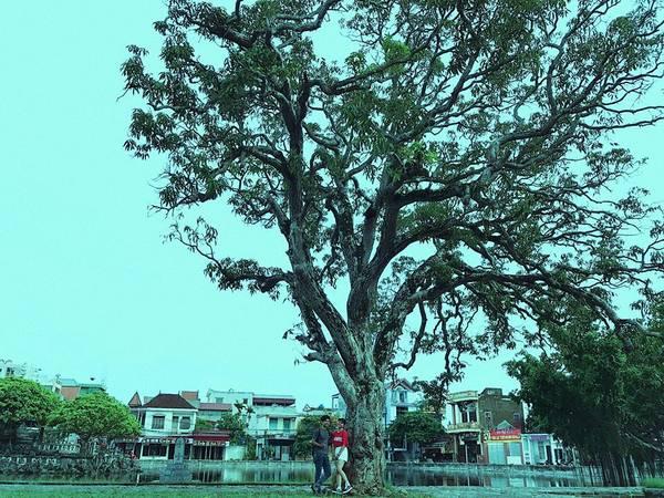 Phía trước sân có một cây cổ thụ rất cao to.
