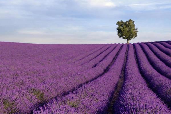 Đồng hoa oải hương (Pháp): Provence nằm ở phía nam nước Pháp, đặc biệt thu hút du khách từ tháng 6-8 hàng năm nhờ màu sắc lãng mạn cùng hương thơm dịu của hàng triệu cây oải hương. Ảnh: Gray Line Tours.