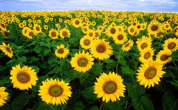 Cánh đồng hoa hướng dương ở Tuscany, Italy: Tuscany là điểm đến phổ biến với du khách thế giới nhờ các thị trấn xinh đẹp, ẩm thực tuyệt vời và những ngọn đồi xanh mướt. Bên cạnh đó, Tuscany còn hấp dẫn nhờ những cánh đồng hoa hướng dướng rộng hàng trăm km2. Thời điểm tốt nhất để đến ngắm hướng dương ở Tuscany là vào mùa hè, khoảng từ tháng 6-8 hàng năm. Ảnh: Discovertuscany.