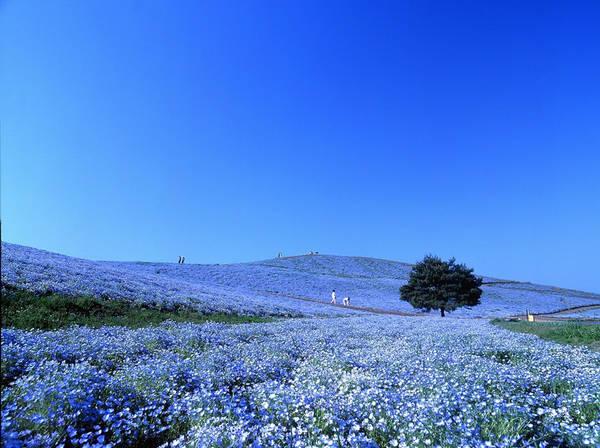 Công viên Hitachi Seaside, Nhật Bản: Công viên Hitachi Seaside nằm ở Hitachinaka, tỉnh Ibaraki có diện tích rộng 190 ha, gồm nhiều ngọn đồi, mỗi đồi trồng một loại hoa cây cảnh khoe sắc quanh năm. Điểm hấp dẫn chính của công viên là 4-5 triệu cây hoa Nemophila đồng loạt nở vào mùa xuân, tạo nên khung cảnh choáng ngợp như tấm thảm màu xanh dịu mát. Ảnh: Hiddener.