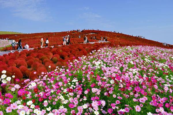 Du khách đến công viên Hitachi Seaside cũng có cơ hội ngắm nhìn những đồi hoa khác như thủy tiên vàng, hoa bướm, tulip và nhiều loại cây đổi màu khác. Ảnh: Hitachikaihin.