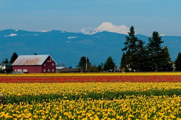 Lễ hội hoa tulip ở thung lũng Skagit, Washington (Mỹ): Lễ hội hoa tulip ở thung lũng Skagit, Washington được tổ chức mỗi năm một lần. Du khách có thể lái xe đi dọc theo những cánh đồng trong thung lũng, chiêm ngưỡng hàng nghìn bông hoa tulip cùng khoe sắc. Mỗi năm hoa sẽ được thay mới về giống, vị trí trồng nên du khách đến thăm sẽ luôn có cảm giác mới mẻ. Ảnh: Lookingthis.