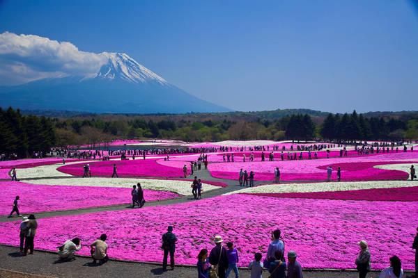Công viên Fuji Shibazakura (Nhật Bản): Công viên Fuji Shibazakura rộng gần 3 ha, nằm bên hồ Motosuko, dưới chân núi Phú Sĩ thu hút rất đông du khách vào cuối tháng 4, đầu tháng 5, nhờ lễ hội hoa shibazakura. Một thảm hoa rộng lớn nhiều màu bao phủ mặt đất khiến du khách ngỡ như lạc vào chốn thần tiên. Ảnh: Japan Times.