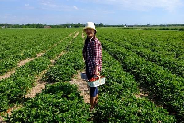 Cô ghé một trang trại dâu ở thị trấn North Bay, tỉnh Ontario, mở cửa từ 8h30 đến 20h, nên đi vào ngày thường vì cuối tuần rất đông. Khách đến hái dâu có thể ăn miễn phí, còn nếu mang về thì sẽ cân tính tiền. Nhiều tỉnh thành ở Canada có trang trại hoa quả tùy theo mùa.