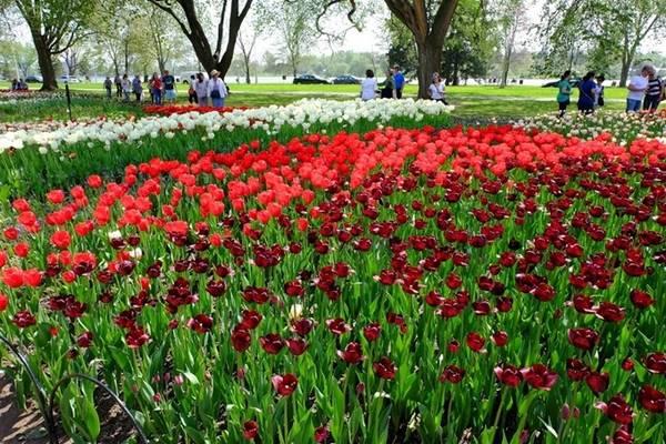 Mùa hè, ở thủ đô Ottawa có nhiều công viên đẹp bởi hoa tulip bung nở, bạn nên ghé qua.
