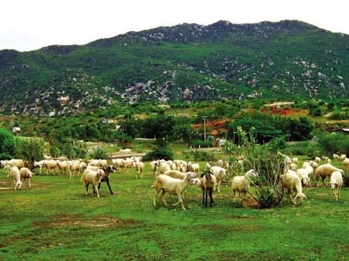 Dê chăn thả trên sườn núi Ninh Bình