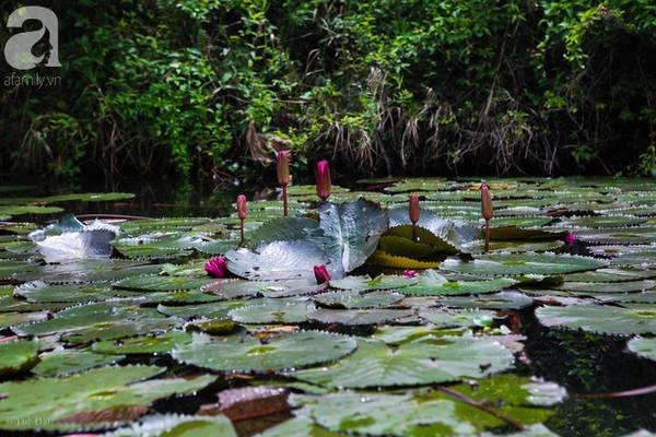 Nếu tới đây vào khoảng tháng 9, tháng 10, tháng 11, khi hoa nở rộ, sắc hồng của hoa súng sẽ nhuộm hồng cả dòng suối Yến.