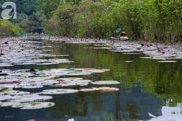 Những cây hoa súng trôi dài trên những nhánh nhỏ của dòng suối dài khoảng 4km tạo nên khung cảnh nên thơ.