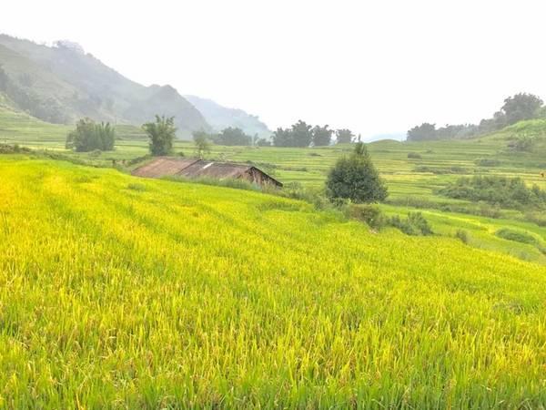 Tại Sa Pa, Hồng Quang, du khách Hà Nội, cho biết quanh khu vực này lúa đã ra bông, một số nơi ngả vàng. Theo blogger Trần Việt Anh, lúa ở Thanh Kim đã chín bắt đầu gặt, lúa ở Tả Van đang vàng, lúa ở Cát Cát vẫn xanh. Thời điểm thích hợp để ngắm lúa Sa Pa là khoảng giữa tháng 9. Ảnh: Đăng. Lịch 'săn' lúa chín ở Sa Pa, Mù Cang Chải
