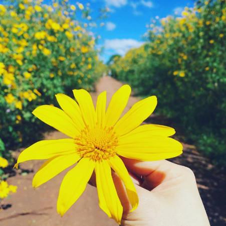 Hoa dã quỳ vàng là đặc trưng của mùa thu Đà Lạt. Ảnh: heokkkon.