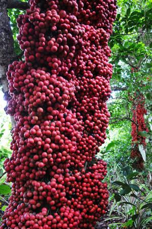 Trái đỏ sum suê bao quanh cây. Ảnh: Dương Thanh Xuân